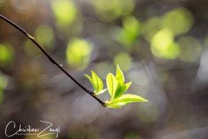 Frühlingstriebe im Gegenlicht