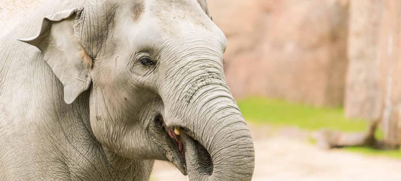 Elefant im Zoo von Zürich