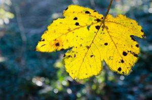 leuchtendes Herbstblatt