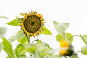 verwelkende Sonnenblume