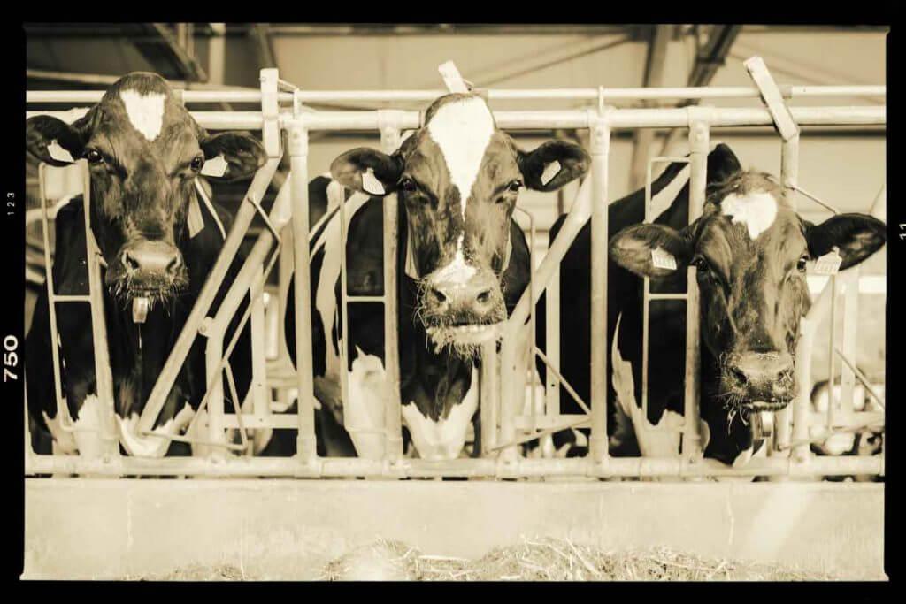 Dreiergruppe Kühe im Stall
