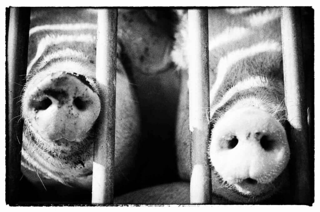 neugierige Schweine auf dem Bauenrhof