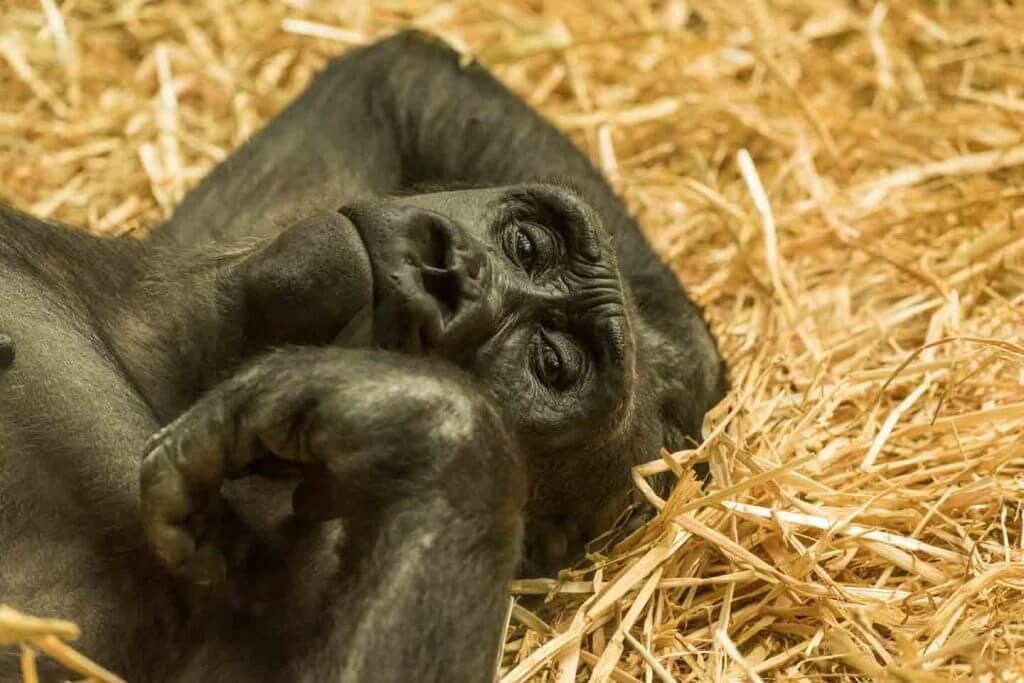 Gorilla - Fotografieren im Zoo