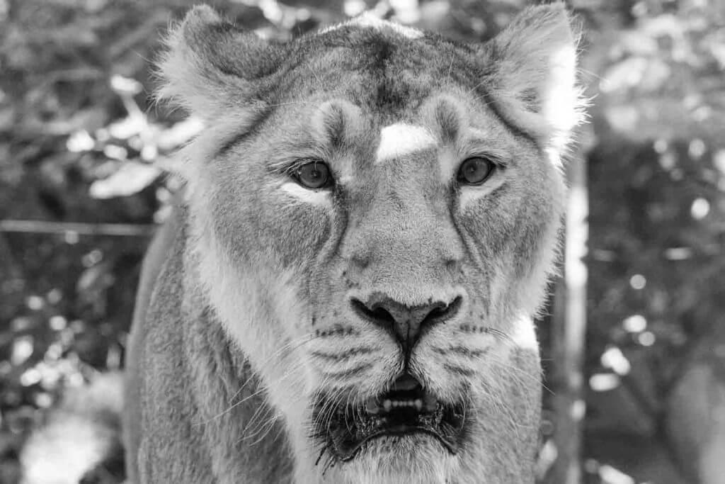 Löwin - Fotografieren durch Scheiben