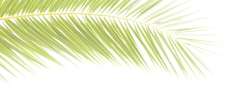 Palmblatt überbelichtet - Druchlichtaufnahmen