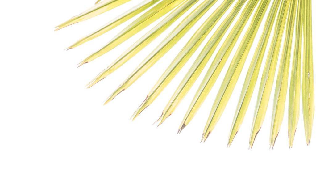 Palmblatt-Fächer im Durchlicht