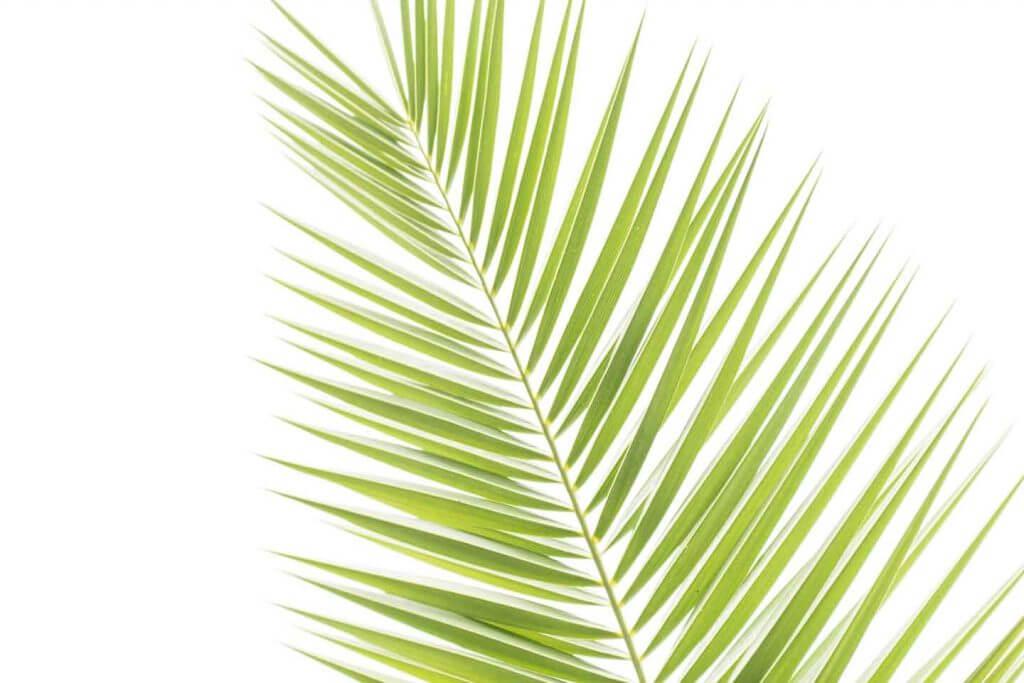 Palmblatt als Durchlichtaufnahmen