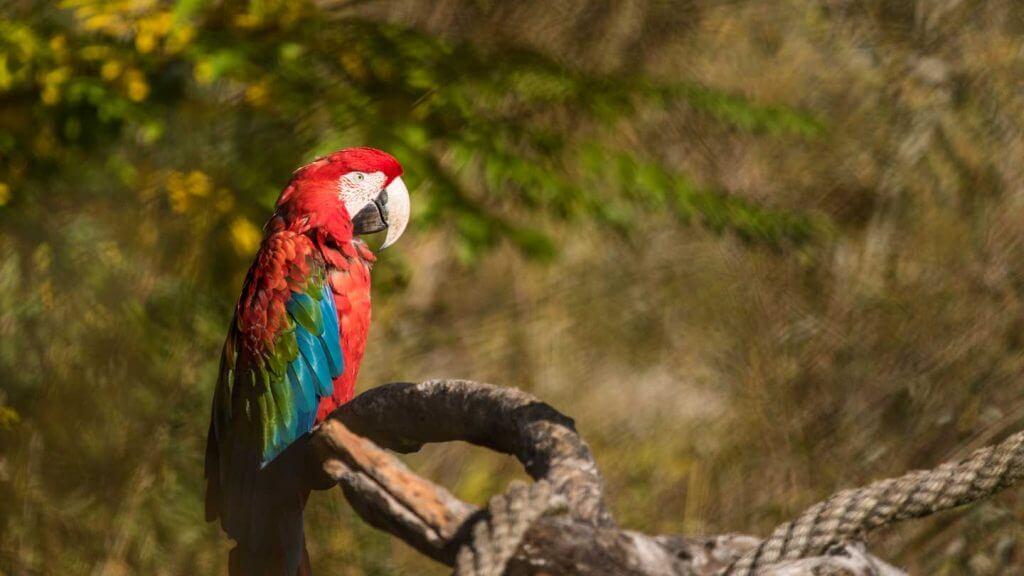 Grünflügelara durch Sichtschutz fotografiert