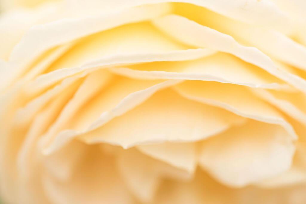 Rosenblüte mit geringer Schärfentiefe