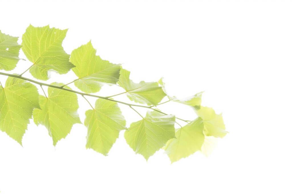 Zwei mit Blättern im Durchlicht