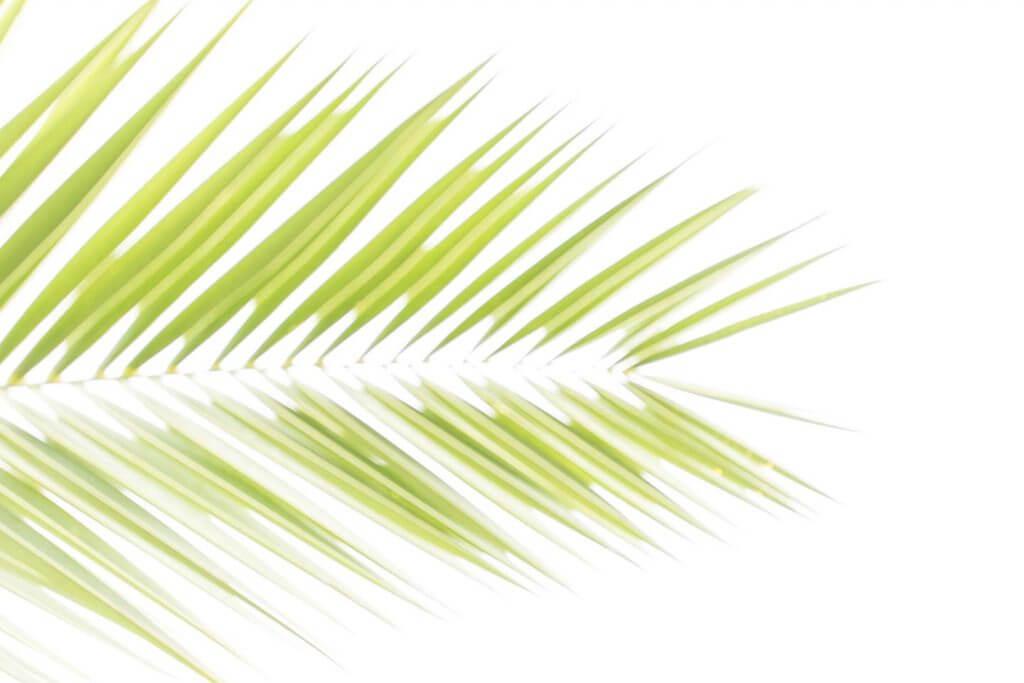 unscharfes Palmblatt als Durchlichtaufnahme