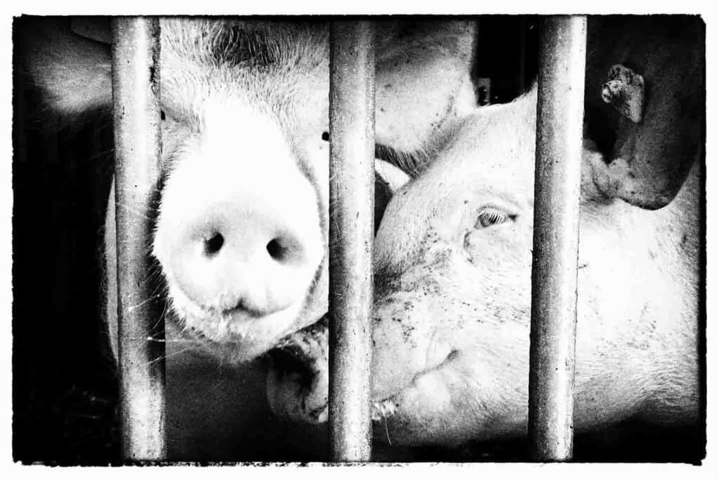 Schnappschuss Schweinemast