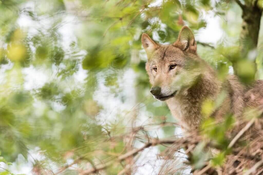 Wolf im Dickicht - richtig fotografieren