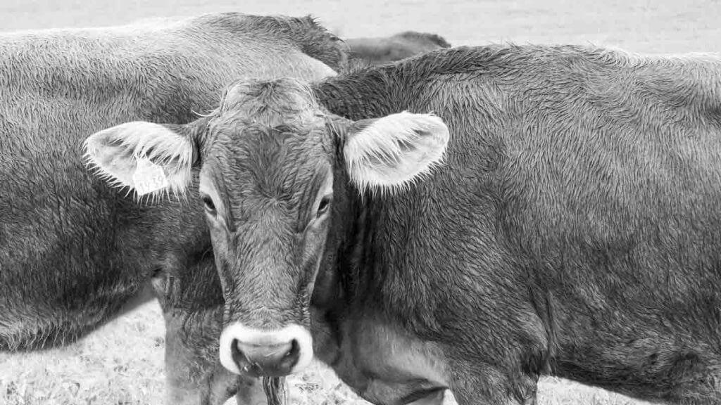 Kühe im Regen