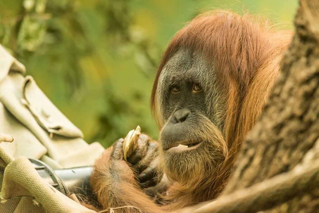 Orang Utan in der Hängematte - Tiere fotografieren