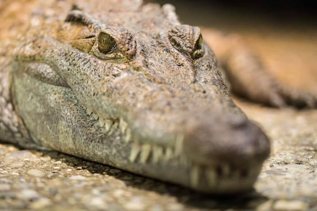 Phillipinisches Krokodil auf Augenhöhe