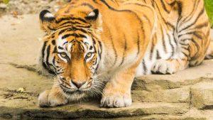 Sibirischer Tiger im Tierpark - Farben optimiert