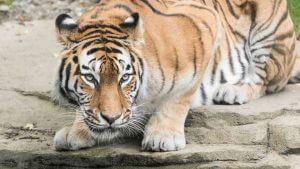 Sibirischer Tiger im Tierpark - unbearbeitet