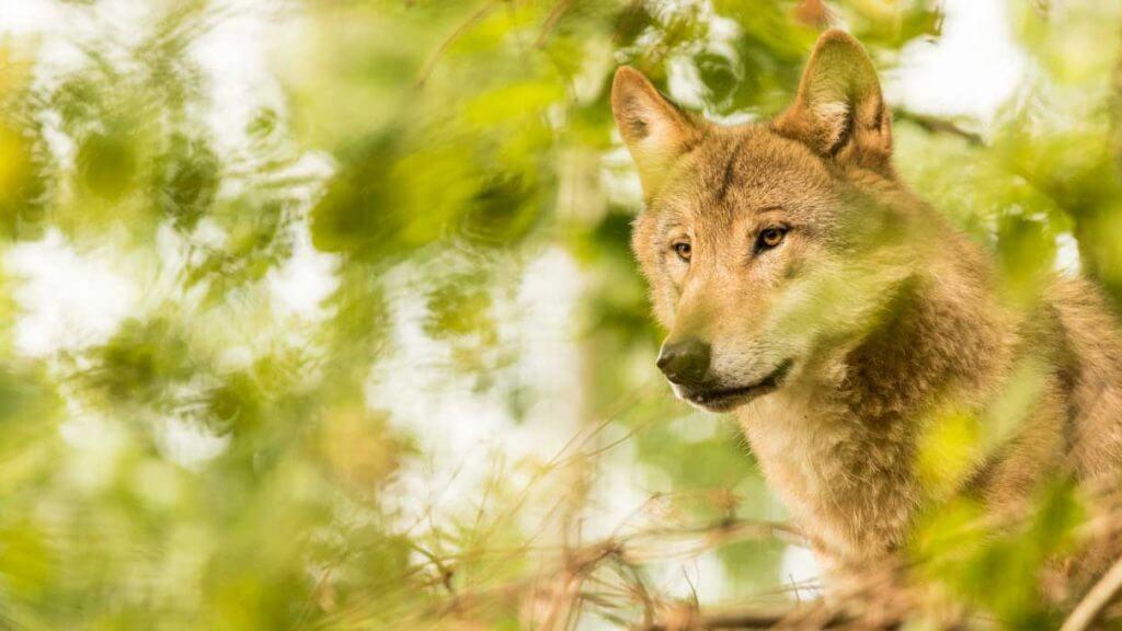 Tiere fotografieren - mongolischer Wolf