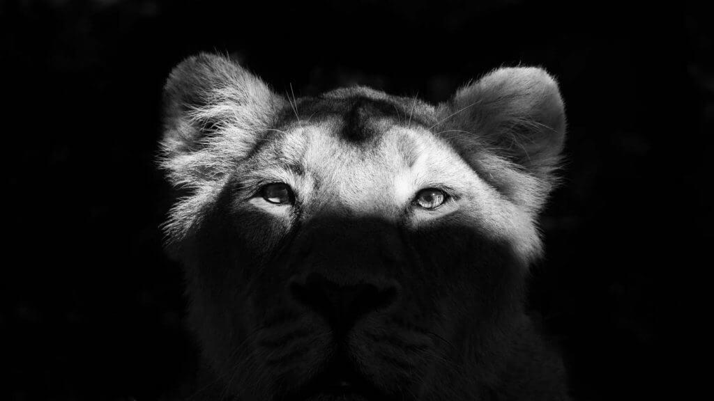 indische Löwin im Morgenlicht