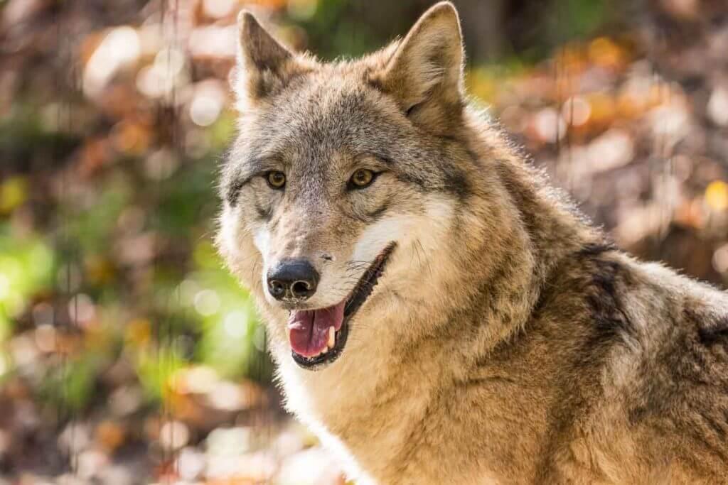 mongolischer Wolf durch Gitter fotografiert