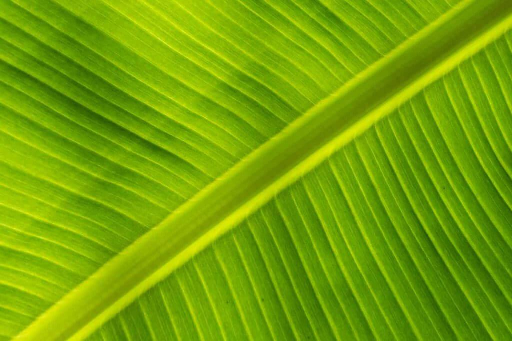 Palmblatt im Durchlicht - Programmverschiebung