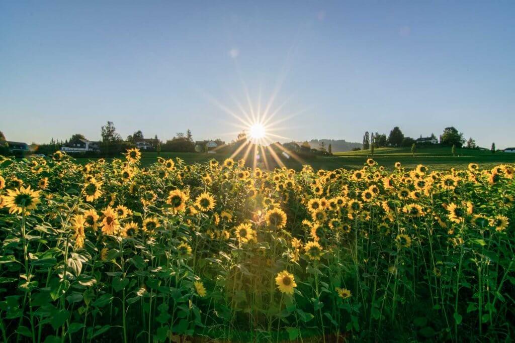 Sonnenblumenfeld im Gegenlicht - Matrixmessung