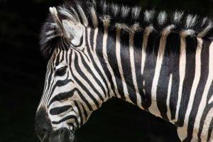 Zebra Skizzenheft