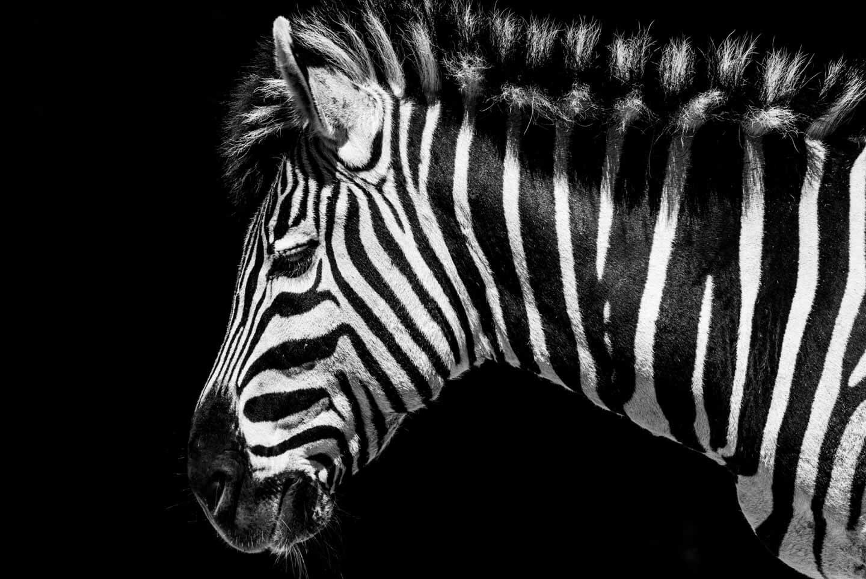 Zebra Skizzenheft der Fotografen