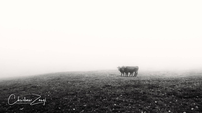 Nebelbilder Kühe in Grub SG