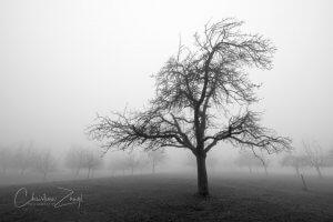 Nebelfotos Obstbäume Mörschwil