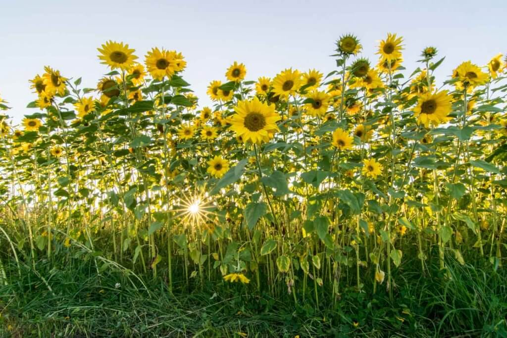 HDR-Aufnahme in Lightroom - Sonnenblumen im Gegenlicht
