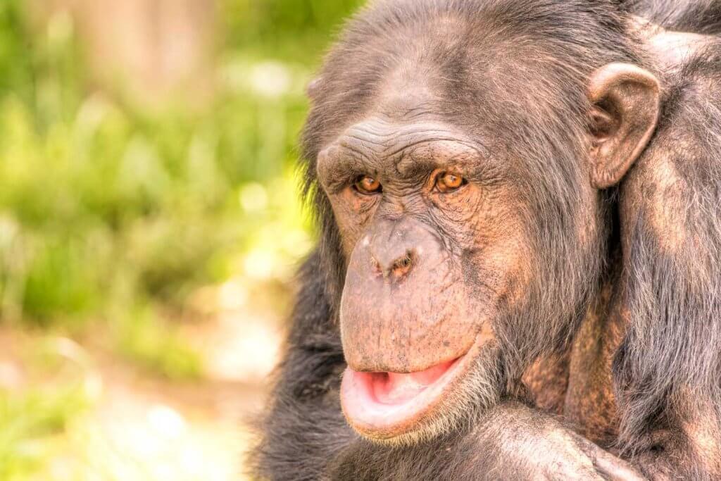 Schimpanse - Fotografieren im Walter Zoo Gossau
