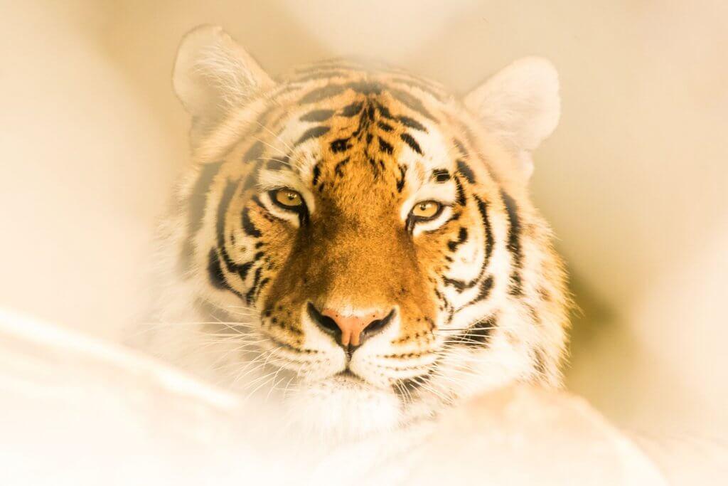 Tiger - Fotografieren im Walter Zoo Gossau