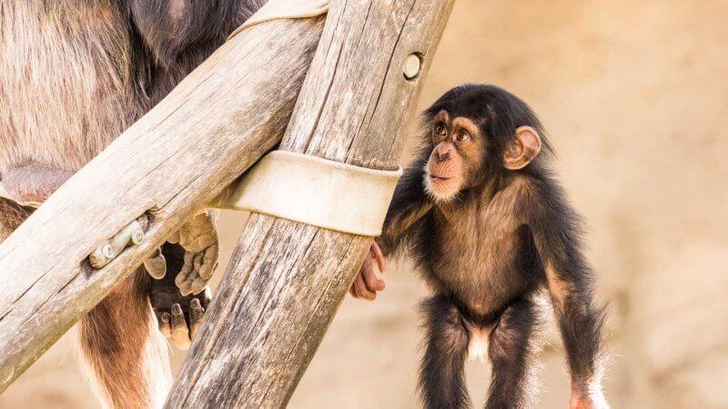 neugieriger Schimpanse - Fotografieren im Walter Zoo Gossau
