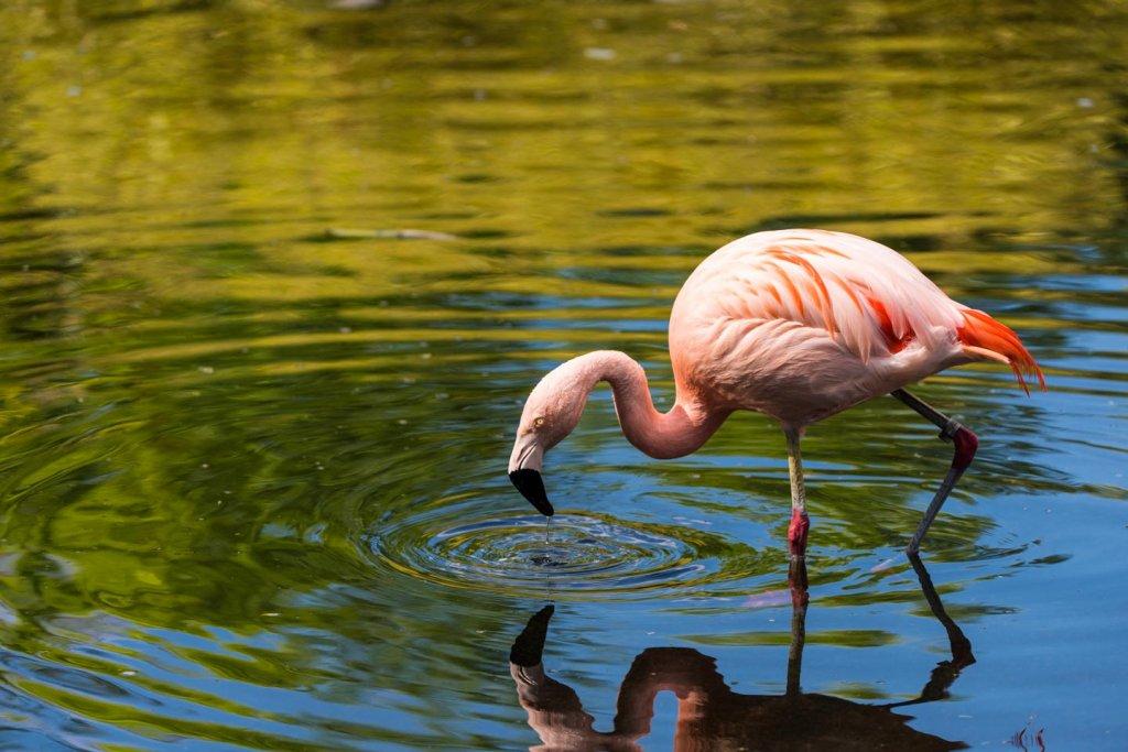 Flamingo - Fotografieren im Tiergarten