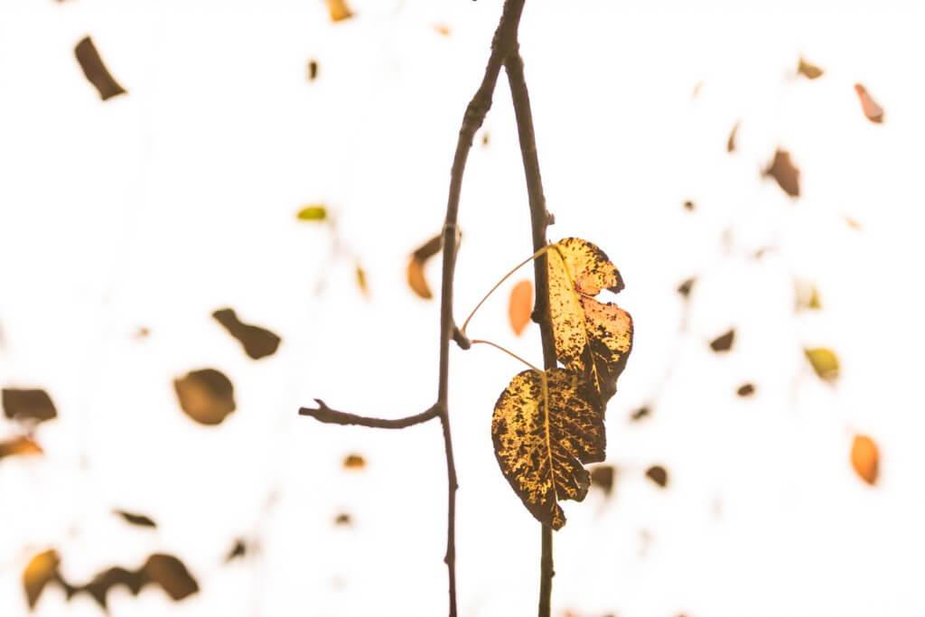 Obstbaumblätter im Gegenlicht