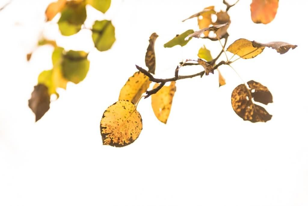 Obstbaumblätter ueberbelichtet im Nebel