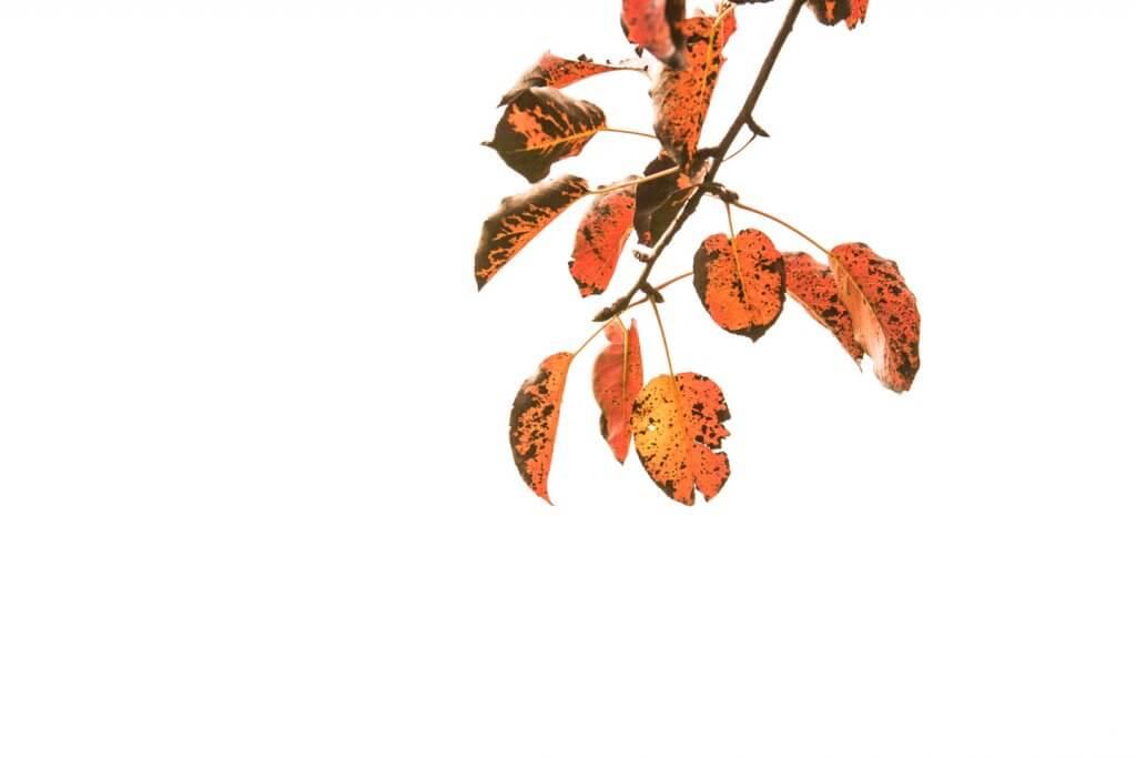 rote Blätter im Herbstlicht