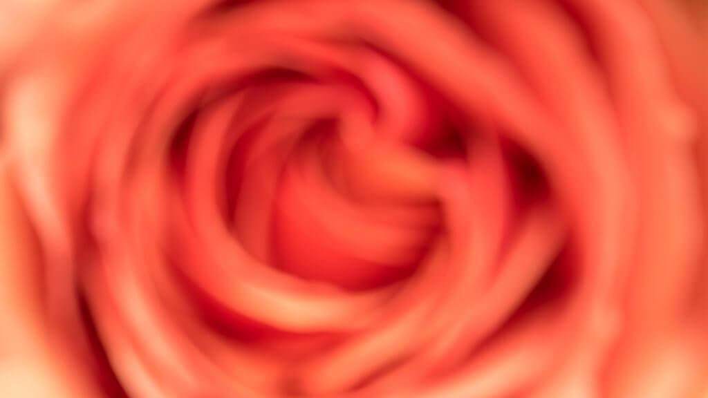 Rose unscharf fotografieren