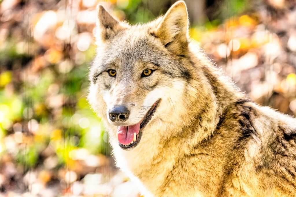 mittenbetonte Messung - mongolischer Wolf