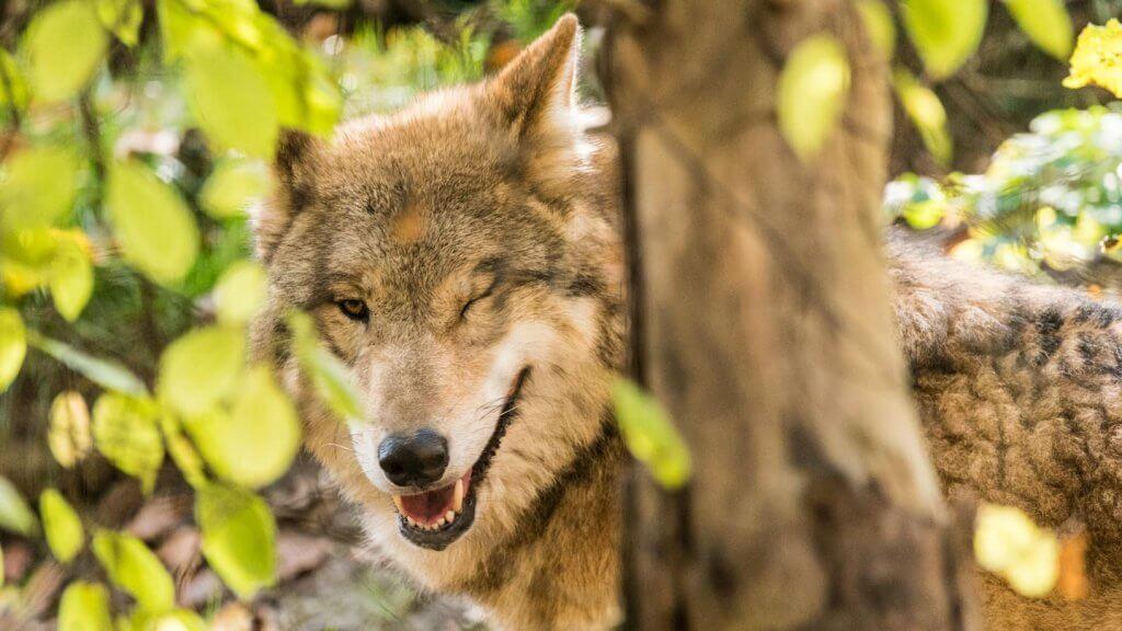 Belichtungsdreieck Wolf mit hoher ISO fotografiert