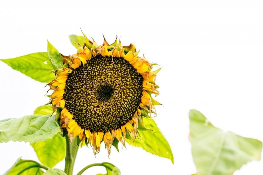 Sonnenblume im Herbst