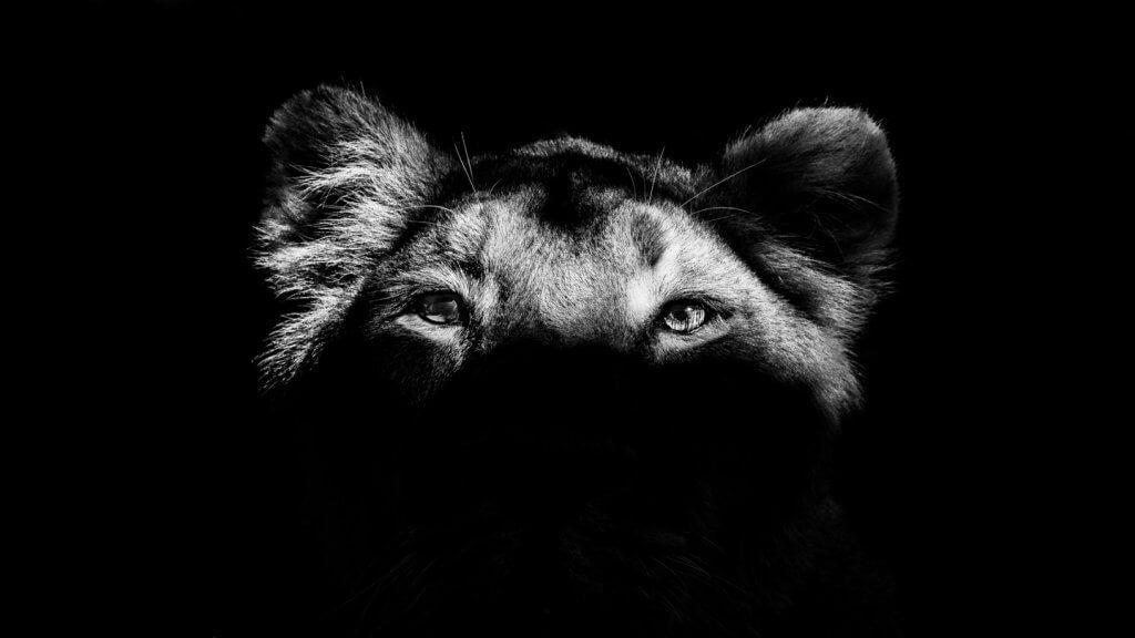 Löwin im Zoo