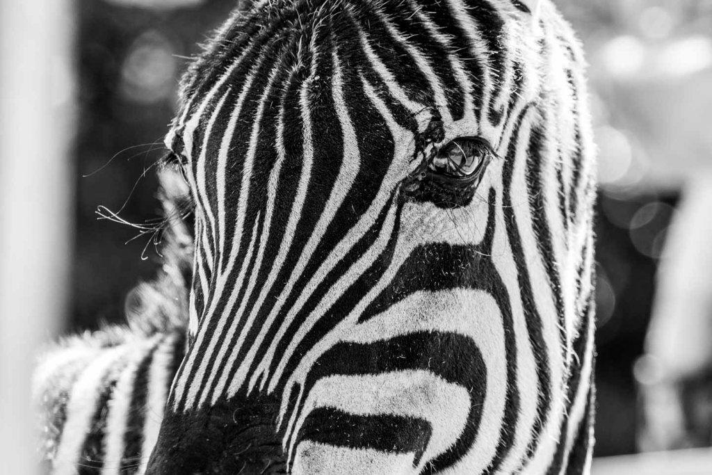Zebra im Tiergarten